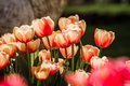 Red and white tulips in bloom clos view of mixed yellow Stock Image