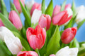 Red and white tulips on a blue background Stock Images