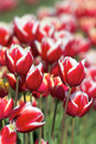 Red and white tulips closeup color flowers in bloom at tulip farm in spring season Royalty Free Stock Image
