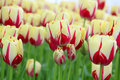 Red and white tulips Royalty Free Stock Photo