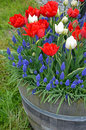 Red and white tulips in planter wooden barrel full of bluebell flowers spring Royalty Free Stock Photo