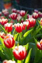 Red & white tulips in rain Royalty Free Stock Photo