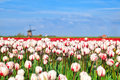 Red and white tulips and windmill alkmaar north holland Royalty Free Stock Image