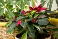 Red and white variegated poinsettia with dark green leaves  bloo Royalty Free Stock Photo