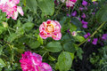Red white violet garden roses, a picture on a fully open dagger, the background is blurred. Royalty Free Stock Photo