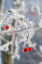 Red wild berries in winter season Royalty Free Stock Photography