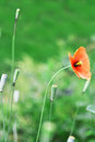 Red wild poppy flower of on green grass Royalty Free Stock Photography