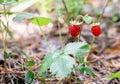 Red wild strawberry on bush