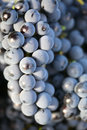Red wine grape Stock Photos