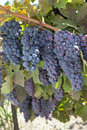 Red Wine Grape Clusters Royalty Free Stock Photo