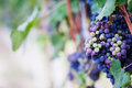 Red wine grape in a vineyard with shallow depth of field to create a natural and elegant image Royalty Free Stock Images