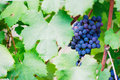 Red wine grape in a vineyard with shallow depth of field to create a natural and elegant image Royalty Free Stock Photography