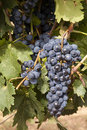 Red Wine Grapes Stock Image
