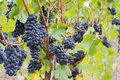 Red Wine Grapes Growing on Vines Royalty Free Stock Photography