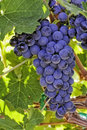 Red wine grapes sun lit hanging on the vine on sunny day Royalty Free Stock Image