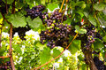 Red wine: Grapes in the vineyard before harvest Royalty Free Stock Photo