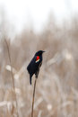 Red winged black bird on dry grass Royalty Free Stock Photo
