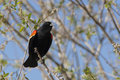 Red winged black bird singing a small blackbird is perched on a branch in a tree Royalty Free Stock Photography