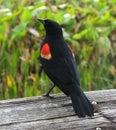Red-winged Blackbird (Agelaius phoeniceus) Royalty Free Stock Photo