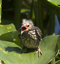 Red-winged Blackbird, baby Royalty Free Stock Photo
