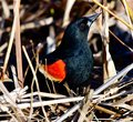A Red-Winged Blackbird in the Brush  2 Royalty Free Stock Photo