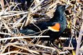 A Red-Winged Blackbird in the Brush  3 Royalty Free Stock Photo