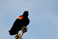 Red winged blackbird calling with a trill while perched on the end of branch Royalty Free Stock Photo