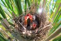 Red-winged blackbird chicks Royalty Free Stock Photo