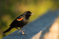 Red-winged blackbird closeup sitting on fence Royalty Free Stock Photo