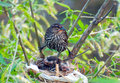 Red-winged blackbird hovers over babies Royalty Free Stock Photo