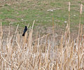 Red-Winged Blackbird Male In Cattails Stock Photo