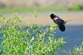 Red-Winged Blackbird Perched in a Tree Stock Images
