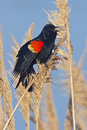 Red winged blackbird singing agelaius phoeniceus from a perch Stock Image