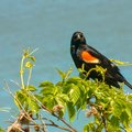 Red winged blackbird at Atwater park in Wisconsin Royalty Free Stock Photo