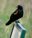 Red-winged merel op teken. Stock Afbeelding