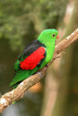 Red winged parrot sitting on a branch australian tropical bird Royalty Free Stock Photos