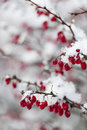 Red winter berries under snow snowy barberry closeup in Royalty Free Stock Images