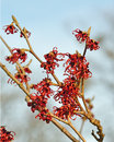 Red Witch Hazel Stock Photo