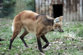 Red wolf Stock Photography