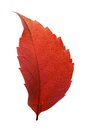 Red woodbine leaf in backlight isolated on white background Royalty Free Stock Photo