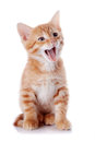 Red yawning kitten sitting cat on a white background striped small predator Stock Photos