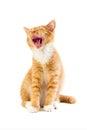 Red yawning kitten Royalty Free Stock Photo