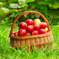 Red and yellow apples in the basket. Stock Photos