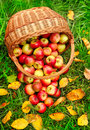 Red and yellow apples in the basket. Stock Image