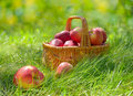 Red and yellow apples in the basket organic a outdoor orchard autumn garden green grass Royalty Free Stock Photo