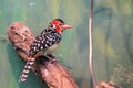 Red and yellow barbet the sitting on the branch on the tree trunk Royalty Free Stock Images