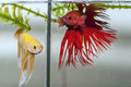 Red and yellow betta fish close up of Stock Photo