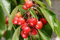 Red and yellow cherries with green leaves Royalty Free Stock Photo