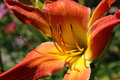 Red and Yellow Daylily Royalty Free Stock Photo