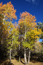 Red and yellow fall aspen trees orange with a blue sky Royalty Free Stock Photo
